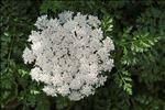 Daucus carota subsp. hispanicus (Gouan) Thell.