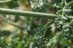 Photo 3/5 Daucus carota subsp. hispanicus (Gouan) Thell.