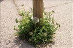 Photo 2/5 Daucus carota subsp. hispanicus (Gouan) Thell.