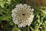 Photo 1/5 Daucus carota subsp. hispanicus (Gouan) Thell.