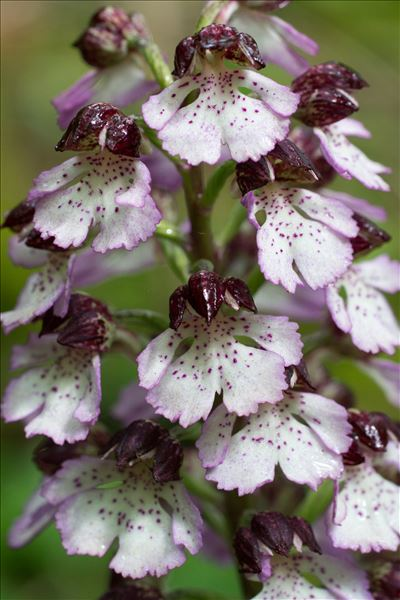 Orchis purpurea Huds.