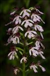 Photo 4/16 Orchis purpurea Huds.