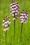 Photo 11/16 Orchis purpurea Huds.