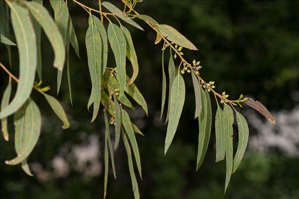 Eucalyptus camaldulensis Dehnh.