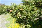 Juniperus phoenicea subsp. turbinata (Guss.) Arcang.