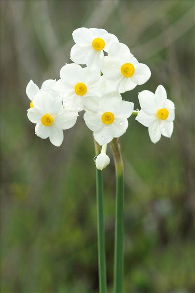 Narcissus tazetta L.