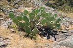 Opuntia stricta (Haw.) Haw.