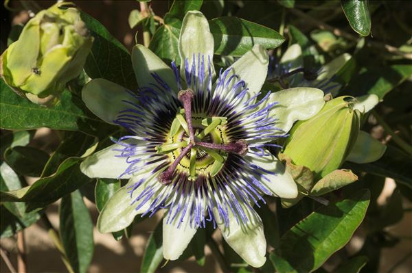Passiflora caerulea L.