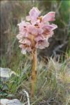 Photo 2/11 Orobanche caryophyllacea Sm.