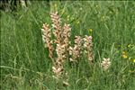 Photo 1/13 Orobanche caryophyllacea Sm.