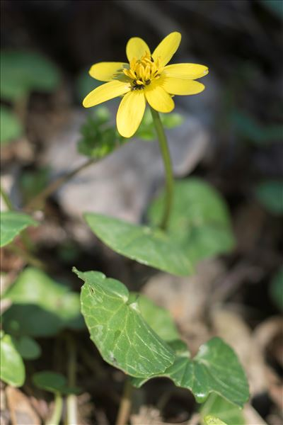 Ficaria verna subsp. ficariiformis (Rouy & Foucaud) Sóo