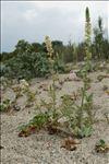 Reseda alba subsp. hookeri (Guss.) Arcang.