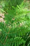 Photo 4/5 Osmunda regalis L.