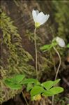 Oxalis acetosella L.