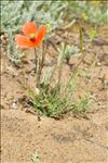 Photo 1/6 Papaver dubium L.
