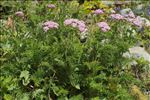 Achillea distans Waldst. & Kit. ex Willd.