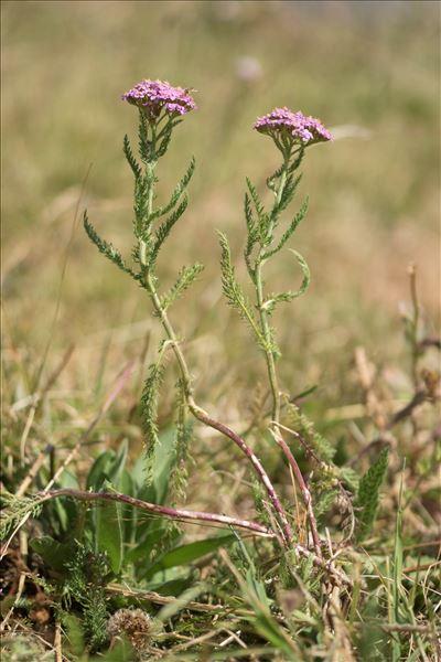 Achillea millefolium subsp. sudetica (Opiz) Oborny
