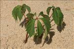 Parthenocissus inserta (A.Kern.) Fritsch
