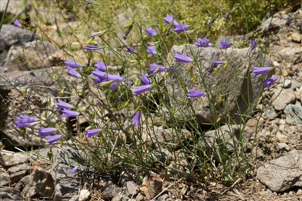 Campanula stenocodon Boiss. & Reut.