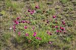 Dianthus carthusianorum subsp. atrorubens (All.) Hegi