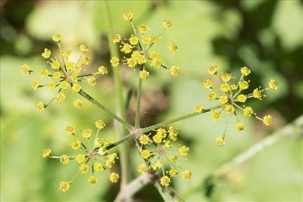 Pastinaca sativa subsp. urens (Req. ex Godr.) Celak.