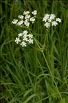 Photo 1/3 Anthriscus sylvestris (L.) Hoffm.