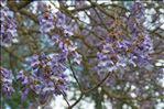 Paulownia tomentosa (Thunb.) Steud.