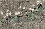 Leucanthemopsis alpina (L.) Heywood subsp. alpina