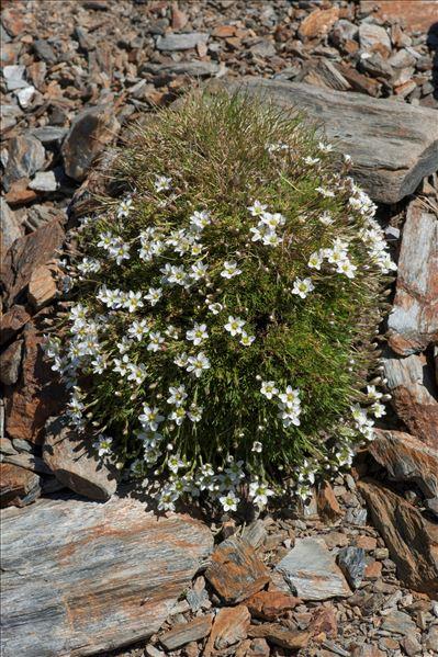 Minuartia recurva subsp. condensata (C.Presl) Greuter & Burdet