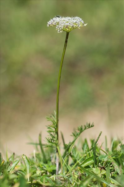Mutellina adonidifolia var. mutellina (L.) Reduron