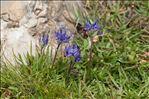 Phyteuma globulariifolium subsp. pedemontanum (R.Schulz) Bech.