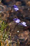 Pinguicula leptoceras Rchb.