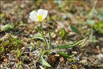 Ranunculus kuepferi subsp. orientalis W.Huber