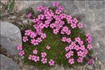 Photo 3/16 Silene acaulis (L.) Jacq.