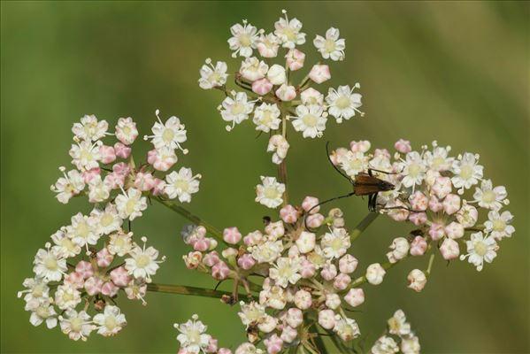 Peucedanum gallicum Latourr.