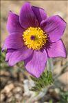 Anemone montana Hoppe ex Sturm