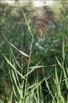 Photo 5/5 Phragmites australis (Cav.) Trin. ex Steud.