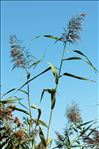 Photo 1/5 Phragmites australis (Cav.) Trin. ex Steud.