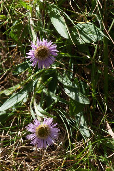 Erigeron uniflorus subsp. aragonensis (Vierh.) O.Bolòs & Vigo