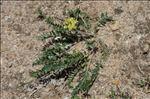Oxytropis campestris (L.) DC. subsp. campestris