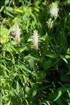 Photo 1/3 Phyteuma spicatum L.