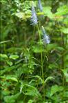 Photo 3/3 Phyteuma spicatum L.