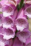 Digitalis purpurea subsp. gyspergerae (Rouy) Rouy