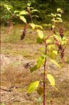 Photo 4/6 Phytolacca americana L.