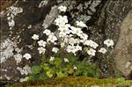 Photo 8/8 Saxifraga corsica (Ser.) Gren. & Godr. subsp. corsica