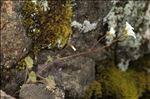Photo 7/8 Saxifraga corsica (Ser.) Gren. & Godr. subsp. corsica