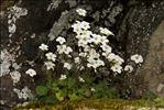 Photo 3/8 Saxifraga corsica (Ser.) Gren. & Godr. subsp. corsica