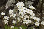 Photo 2/8 Saxifraga corsica (Ser.) Gren. & Godr. subsp. corsica
