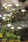 Saxifraga corsica (Ser.) Gren. & Godr. subsp. corsica
