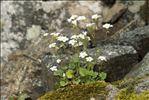 Photo 1/8 Saxifraga corsica (Ser.) Gren. & Godr. subsp. corsica